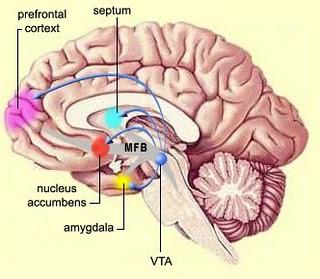 beyinde bağımlılık merkezleri