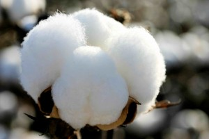 tessenderlo-agrochem-bitki-rehberi-pamuk-cotton-001