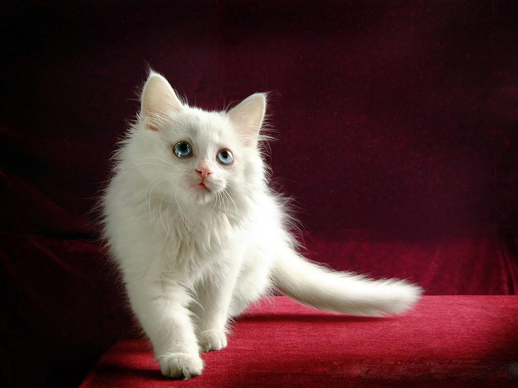 beyaz_kedi_2